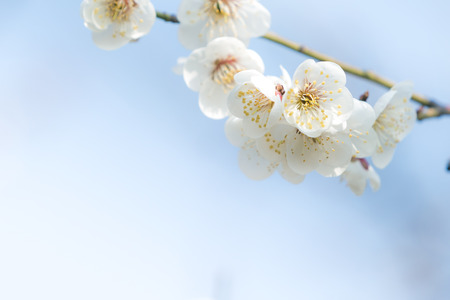 Cherry blossom in spring with soft focus, background photo