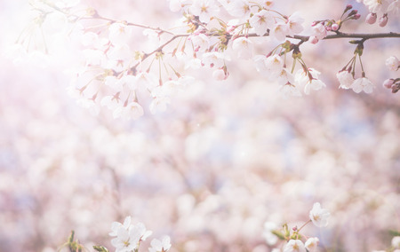 floral background: abstract cherry blossom  [Soft focus, Background]