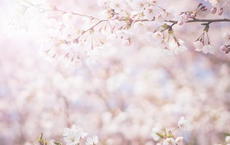 fleur de cerisier: abstraite fleur de cerisier [Soft focus, Fond]