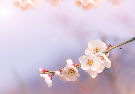 Abstract Cherry Blossom of Love,  Soft focus, background