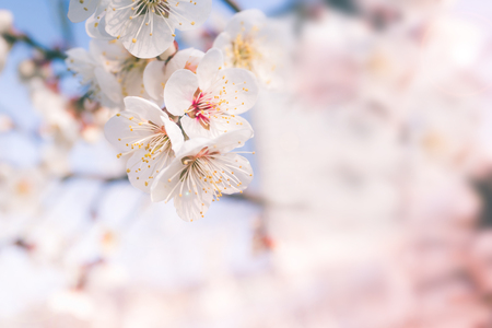 Abstract Cherry Blossom of Love,  Soft focus, background photo