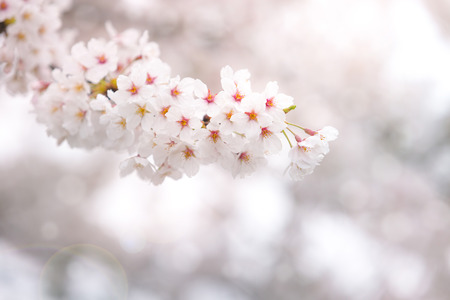 Abstract cherry blossom in spring with soft focus, background photo