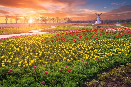 Tulip and beautiful landscape with sunrise