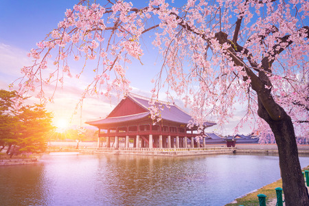 Gyeongbokgung palace with cherry blossom tree in spring time in seoul city of korea, south korea. Фото со стока