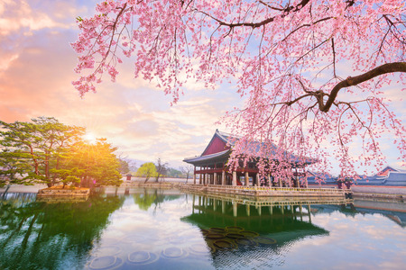 Gyeongbokgung palace with cherry blossom tree in spring time in seoul city of korea, south korea. 報道画像
