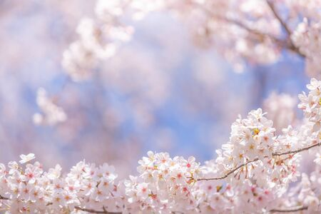 Cherry blossom  flower in spring for background or copy space for text Фото со стока