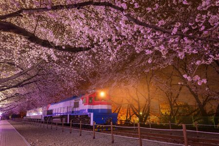 Cherry blossom in spring is the popular cherry blossom viewing spot, jinhae South Korea.