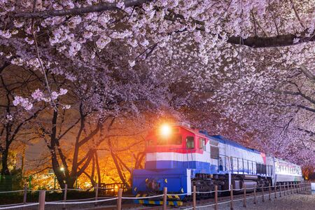 Cherry blossom in spring is the popular cherry blossom viewing spot, jinhae South Korea. Фото со стока - 150457452