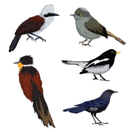 ruiseñor: aves ilustraciones vectoriales conjunto