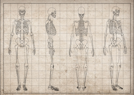 hands on hips: Male Human skeleton, four views, front, back, side and perspective