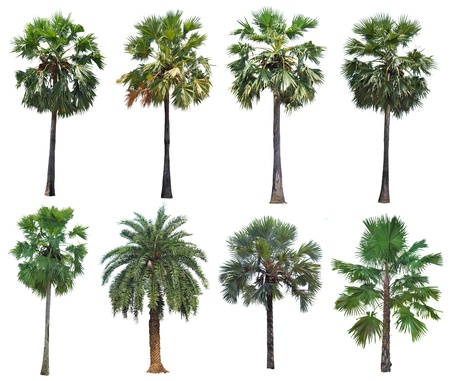 palm tree isolated: Collection palm tree isolated on white background