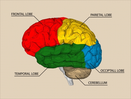 anatomy brain: Brain sections vector