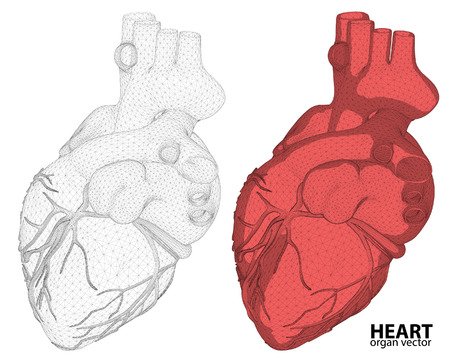 romantic sex: 3d Heart wireframe mesh digestive system isolated on background, for anatomy,medical,body,stomach,medicine,heart,biology,internal,care. conceptual anatomical human