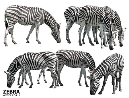 gazing: Set of zebras. vector