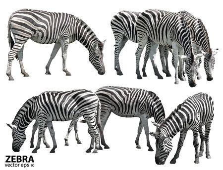 gazing: Set of zebras. vector