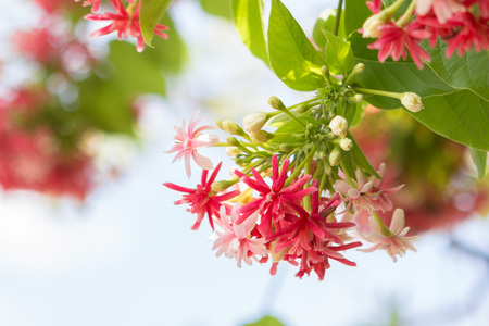 Hermoso Combretum indicum sobre fondo bokeh
