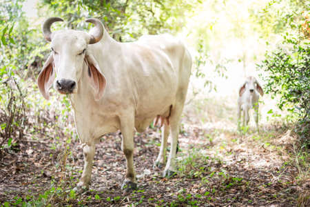 American Brahman cattle in abundant natural farms 스톡 콘텐츠