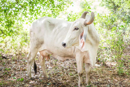 American Brahman cattle in abundant natural farms Stock Photo