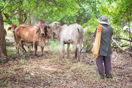 Cowboys and American Brahman cattle in abundant natural farms