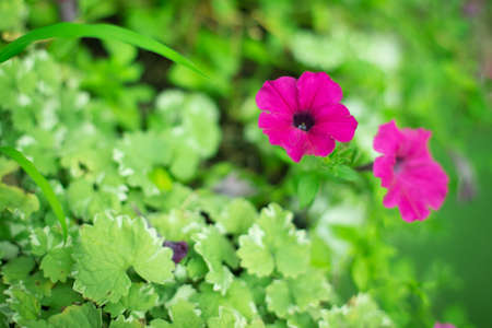 Beautiful Petunia with warm light on background blurred