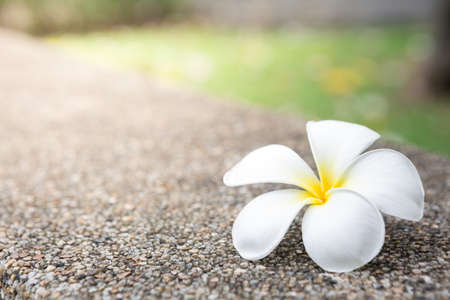 Plumeria on the rock on natural blurred background with sunlight and copy space 免版税图像
