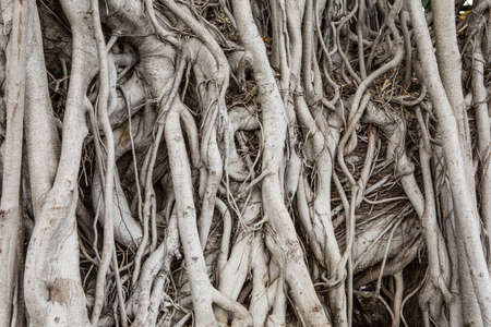 Pattern of Many tree roots texture background
