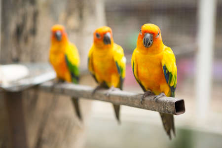 Beautiful Sun conure parrot are popular pets in Thailand