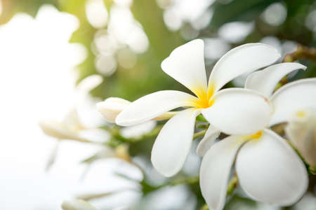 Plumeria on natural blurred and bokeh background with sunlight