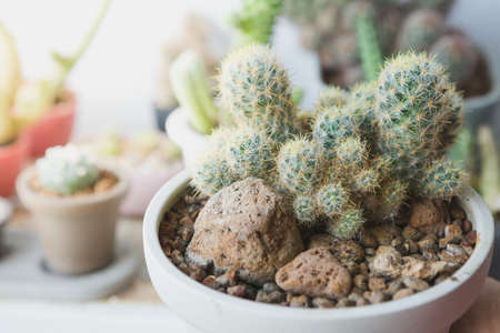 Selective focus of small cactus in a pot with warm light on blurred background 免版税图像