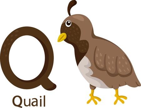 Illustrator van Q met kwartel Stock Illustratie