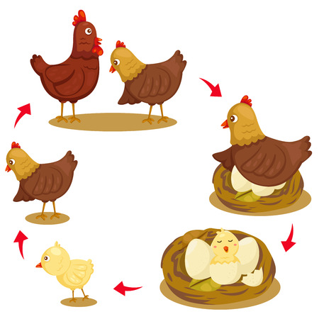 growth: Illustrator of chicken life cycle