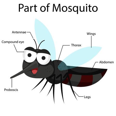 proboscis: Illustrator part of mosquito Illustration