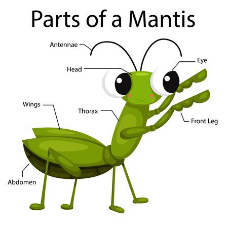 mantis: Illustrator Parts of a mantis Illustration