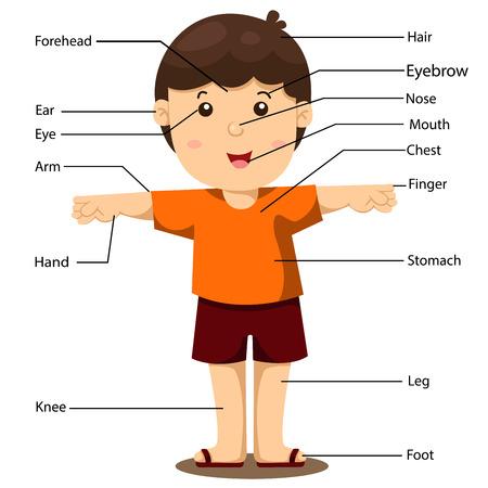 partes del cuerpo humano: ilustración de una parte del cuerpo