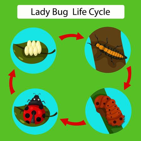 insecta: Illustrator of life cycle of a Ladybug
