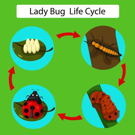 animalia: Illustrator of life cycle of a Ladybug
