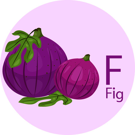 fig: Illustrator of fig fruit