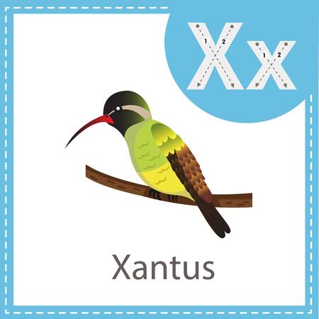 Illustrator of Xantus bird Çizim