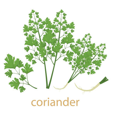 Illustrator of coriander vegetable isolated
