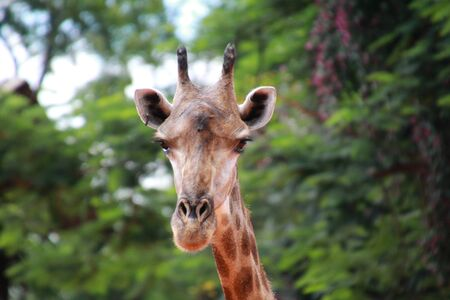 long nose: giraffe in the zoo
