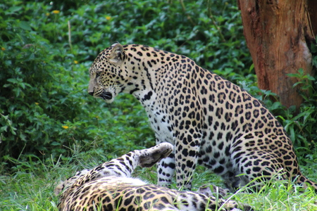 leopard in the Zoo
