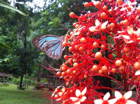 A butterfly on the ixora plant Stock Photo