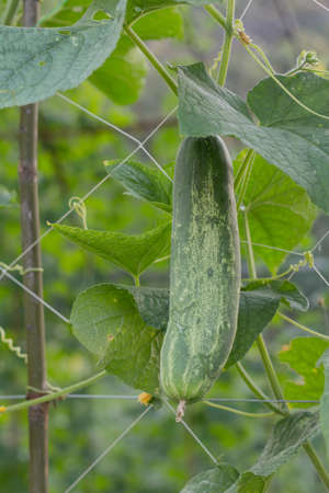 Cucumber Stock Photo - 17097639