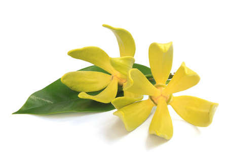 Ylang-ylang flower photo
