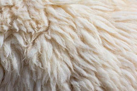 Fleece sheep background Stock Photo