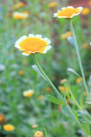 Close up of a beautiful  zinnia flower