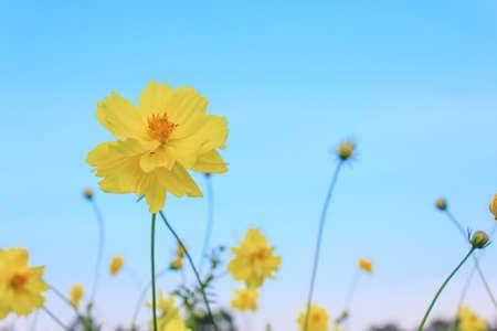 Kosmos-Blumen Standard-Bild - 24822589