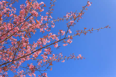 Sakura rosa Blume in Thailand Standard-Bild - 24878801