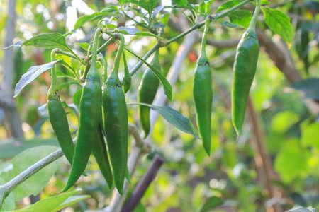 Green chillies in the garden