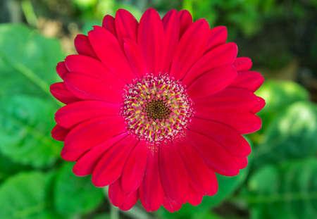 Red Gerbera Blume Standard-Bild - 25999107